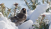 Common redpoll, bird in snow, Phippsburg, Maine winter, male with red top knot, Balsam