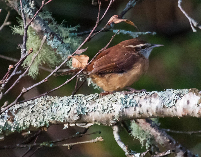 Carolina wrens are uncommon migrants in Maine. Totman Cove, fall, Phippsburg, Maine