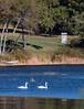 Mute Swan pair, Winnegance, between Bath and Phippsburg Maine, October 10, 2014