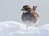 White-throated sparrow close up with seed in snow, Phippsburg, Maine winter song bird
