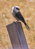 Gray Jay perched on a post, right turn, side view, Maine boreal forest bird