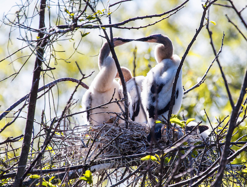 downy Anhinga chicks on the nest, beak to beak, awe - cute! The Everglades national Park, Shark Valley, Florida, March 2013