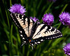.  For more on butterflies found in Maine visit http://www.thebutterflysite.com/maine-butterflies.shtml