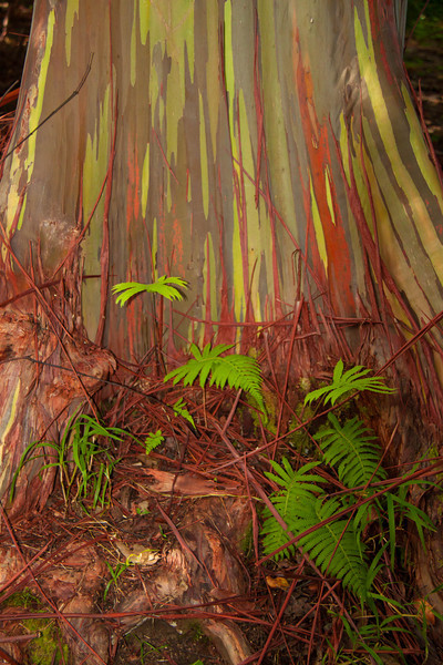 Eucalyptus deglupta is a tall tree, commonly known as the Rainbow eucalyptus, Painted eucalyptus,  Mindanao gum, or Rainbow gum. It is the only Eucalyptus species found naturally in the Northern Hemisphere. Its natural distribution spans New Britain, New Guinea, Ceram, Sulawesi and Mindanao. It grows in Hawai'i to 150 feet, with a diameter up to 3 feet. The wood is relatively light (specific gravity .45), stable, and works very easily. It has been used for cabinet work in the past, and has recently found its way into furniture and carved work. It is one of the world's fastest growing trees. The unique multi-hued bark is the most distinctive feature of the tree. Patches of outer bark are shed annually at different times, showing a bright green inner bark. This then darkens and matures to give blue, purple, orange and then maroon tones.