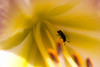 A tiny bee inside a Daylily flower. Maine has about 270 indigenous species of bees.