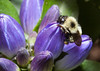 """A Bumble Bee pollinating a Bottle Gentian, Gentiana andrewsii blossom, Phippsburg Maine, September first. Bottle Gentians are indigenous Maine wildflowers. The blossoms in this photo are as open as they will be, thus the name """"bottle."""" The one and only pollinators of this plant are these big Bumble Bees. They are the only insects large enough to pry open the flowers and climb inside for the pollen."""