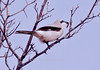 Northern Shrike with caterpillar, food, perched, Maine