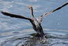 A Double Crested Cormorant taking off from the water, Phippsburg, Maine