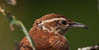 Carolina Wren, an uncommon migratory bird in Phippsburg, Maine
