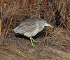 Black Crowned Night Heron, immature, lurking in saltmarsh
