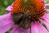 An unidentified black, Skipper butterfly feeding on cone of Purple Cone Flower, echinacea in my Phippsburg Maine gardens, mid July