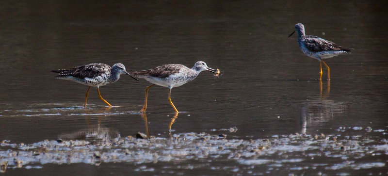 Lesser Yellowlegs are migratory shorebirds in Maine. These are fishing and one has a litttle crustacean. Lucky bird! Phippsburg, Maine