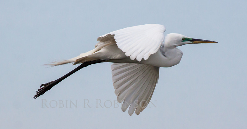Great White Heron,