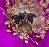 A Honey Bee working the pollen of a rosa rugosa blossom, Phippsburg, Maine