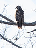 Red Shouldered Hawk, Phippsburg, Maine, December 30, 2009, an odd raptor to see here at this time of year. A Black Capped Chickadee thought this raptor should move on!