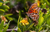 Gulf Fritillary, south Florida