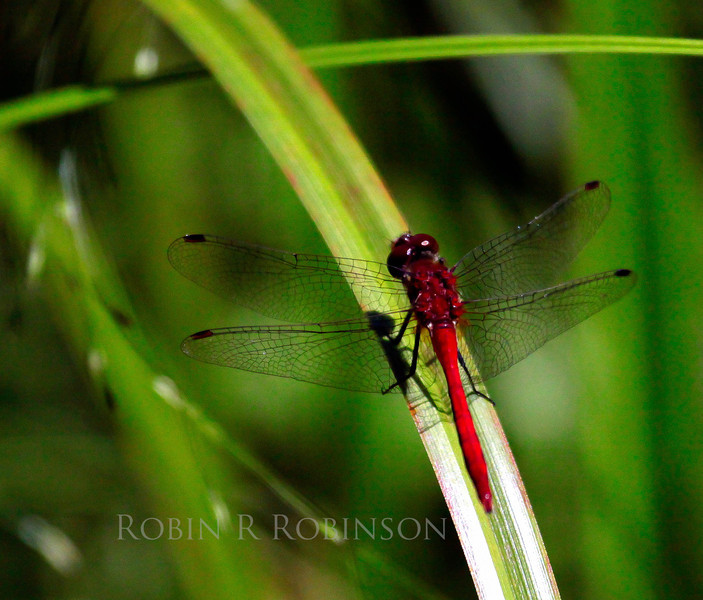 Red Meadowhawk dragonfly, dragonfly, flying insect seen in grasslands, meadows and fields in Maine summer months, Phippsburg, Maine