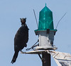 Double Crested Cormorants are migratory diving birds in Maine. They are sea birds that eat fish. Ths one is perched on a navigational marker light. It has its crests up making it clear why they are called Double Crested Cormorants.