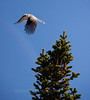 Gray Jay taking flight from a spruce top, Maine bird