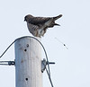 Broad-winged Hawk, Buteo platypterus , May 2013, Phippsburg, Maine Perched on utility pole in Small Point, bird is defecating, lightening its load for take off.