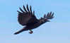 American crow in flight, Maine