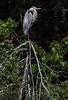 Great Blue Heron, Ardea herodias perched on snag, full breeding plumage, Phippsburg, Maine late July