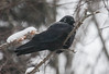 Crow in Snow, American crow with ice and snow frozen around its eye and head during winter storm Hercules, January 3, 2014, Phippsburg, Maine