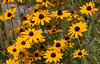 Rudbeckia fulgida, Black Eyed Susans are native Maine wildflowers. They are abundant in coastal Maine in July.