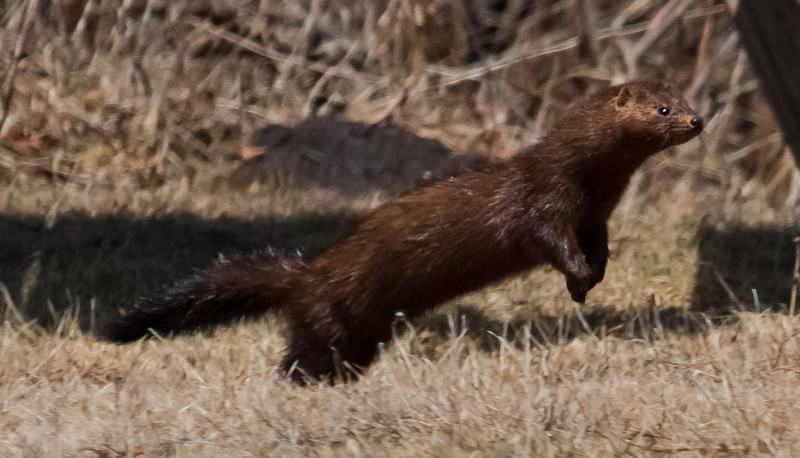While I was photographing some Flickers feeding on the ground, this mink jumped out of the scrub right in front of me! April, Phippsburg, Maine