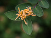 "Wild invasive Honeysuckle. For more on invasive Honeysuckles and how to differentiate them them native Honeysuckles visit <a href=""http://umaine.edu/publications/2507e/"">http://umaine.edu/publications/2507e/</a>"