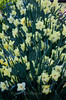 cluster of mixed daffodils in a coastal Maine Phippsburg garden in spring