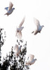 White Doves in flight, flock on Parker Head Road at Center, Phippsburg, Maine