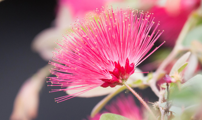 The Powder Puff tree, Calliandra haematocephala is not native to  Hawaii but they do thrive on Maui.