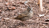 A Lincoln's Sparrow ground feeding on insects and larvae, Small Point, Phippsburg, Maine May 15, 2014