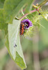 Gulf Fritillary butterfly larvae on Passion Flower vine and spent flower (purple), Kipahulu, Maui