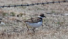 Killdeer are a species of migratory plovers in Maine. This one was photographed in North Bath.