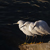 Three Snowy Egrets contemplating  the meaning of life