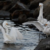 """Saturday Night Fever - snowy egrets  """"getting down"""" at the pond"""