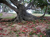 Tree at Kawela Bay with amazingly large bright red leaves<br /> 030802