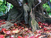 Tree at Kawela Bay with amazingly large bright red leaves covering Earth, giving nutrition back into the soil<br /> 030802