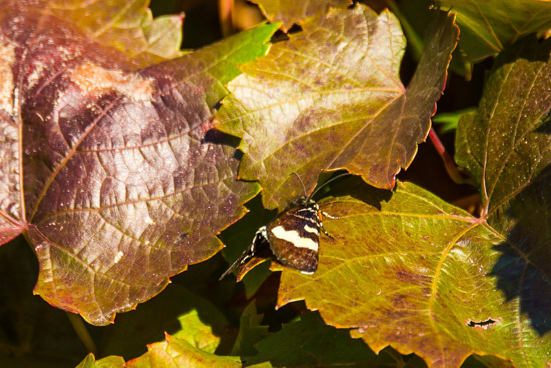 Butterfly on grape leaves at Penfolds Winery