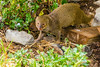 Mongoose are a cute pest