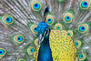 Common Peafowl, Pavo cristatus