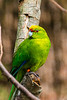 The Yellow-crowned Parakeet (Cyanoramphus auriceps)