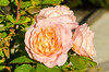 David Austin Rose at the Millbrook Resort