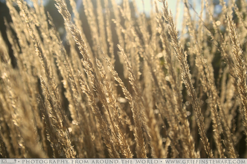 Long Grasses in Afternoon Sun