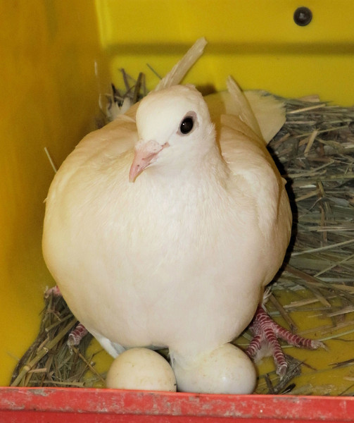 "A ""Mother"" to Be Again. The white pigeons keep busy hatching out eggs and raising up some of them. With my selective breading I have a cage full of them now. I like to call these ""white Doves""; it makes them sound more special."
