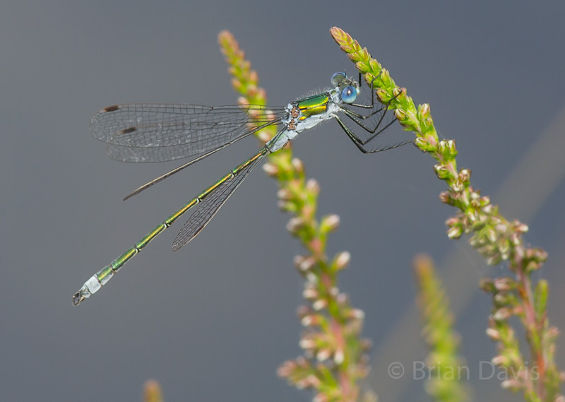 Emerald Damselfly 3