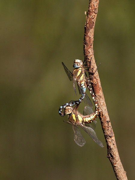 Migrant Hawkers mating