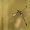 Common Darter 1